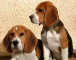 Chien Dobby - Beagle Mâle (1 an)