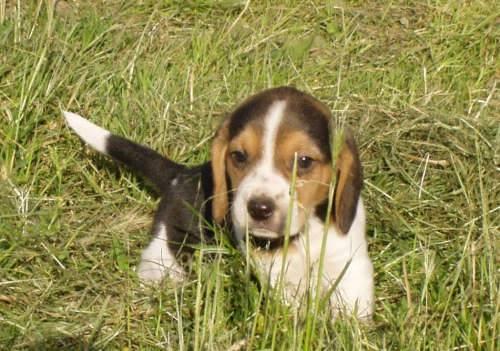 Photo beagle beagle - Chiot beagle gratuit ...