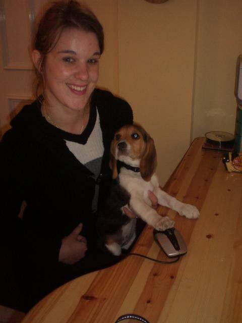 Chien BEAGLE CASSY 2 MOIS - Beagle  (2 mois)