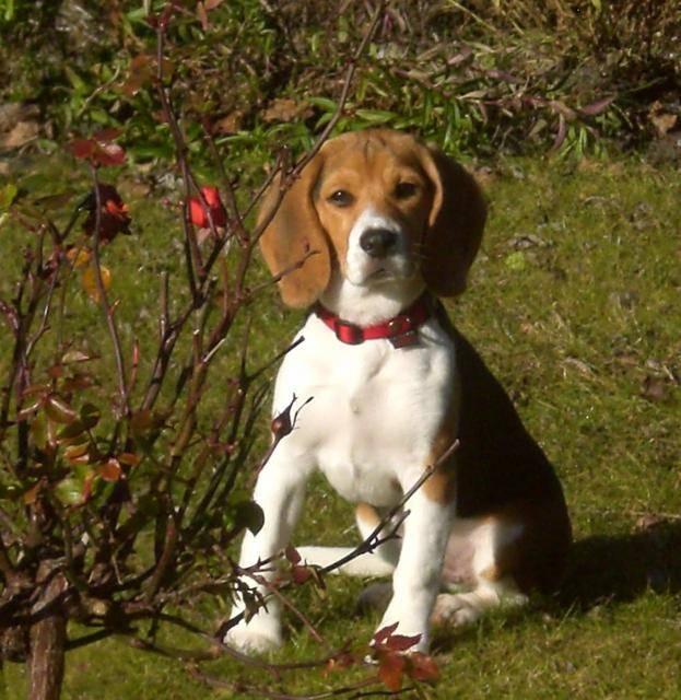 Photo beagle cassy 5 mois beagle femelle 5 mois - Chien beagle adulte ...