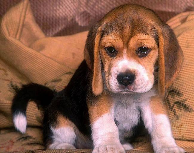 Photo chiot beagle beagle - Chiot beagle gratuit ...