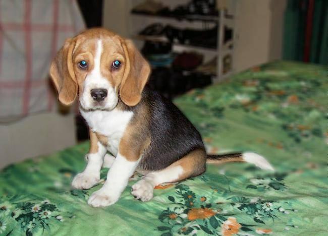 Photo winnie beagle femelle chiot beagle - Chiot beagle gratuit ...