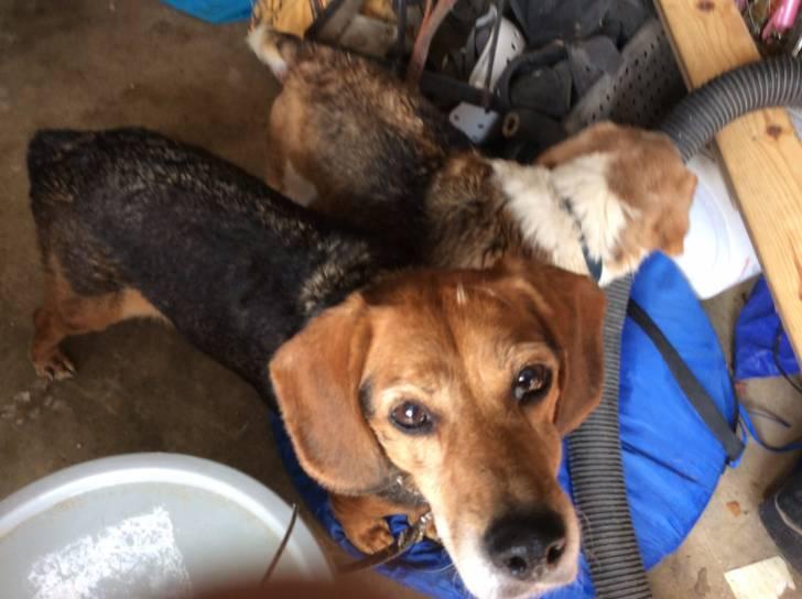 Chien Radar - Beagle Mâle (12 ans)