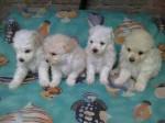 Chien fufis - Barbet Femelle (3 mois)