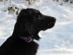 Chien Feeling du Roc de Tougne dans la neige. Hiver 2012 - Retriever à poil plat  (0 mois)