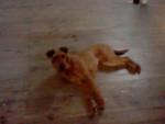 Chien Galice - Terrier irlandais Femelle (1 an)
