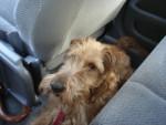 Chien Galice - Terrier irlandais Femelle (2 ans)