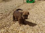 Chien Guinness - Terrier irlandais Femelle (1 mois)