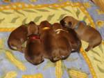 Chien Guinness et ses frères - Terrier irlandais  (0 mois)