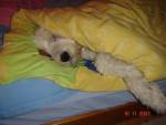 Chien Bobtail Nabou - Bobtail  (0 mois)