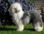 Chien Crescent Blue Moon from Clear Spring - Bobtail  (0 mois)