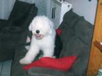 Chien Freya - Bobtail  (0 mois)
