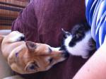 Chien Inaya et son bébé adopté =) - Shiba Inu Femelle (2 ans)