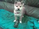 Chien shiba inu. FOX - Shiba Inu Femelle (0 mois)
