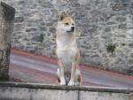 Chien shiba inu    AKI - Shiba Inu Femelle (0 mois)