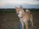 Chien shiba inu CADWAN - Shiba Inu Femelle (0 mois)
