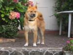 Chien Bluetooth le Shiba Inu - Shiba Inu Femelle (0 mois)