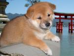 Chien Shiba From Hillock Snowy - Shiba Inu  ()