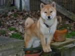 Chien Wakamatsu shiba inu mâle de 6 mois - Shiba Inu  (6 mois)