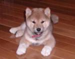 Chien Jako ( Pas sa vrai photo ) - Shiba Inu Femelle (5 mois)