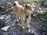 Chien Simba - Shiba Inu Femelle (6 ans)