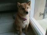 Chien Gumi ! - Shiba Inu Femelle (7 mois)