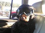 Chien Friend\'s dog Koda - Chien d\'eau portugais Mâle (0 mois)