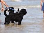 Chien Port. Wasserhund - Chien d\'eau portugais Mâle (0 mois)