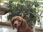 Chien lady -  Femelle (10 mois)