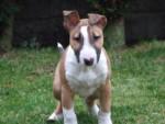 Chien Bulle -  Femelle (8 mois)