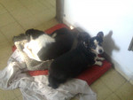 Chien Chaman Y Manchi -   (0 mois)