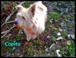 Chien copito -  Mâle (3 mois)