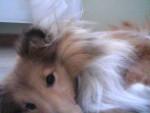 Chien Dacha -  Femelle (11 mois)