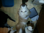 Chien Rocky,Sassy, and Sky -  Femelle (0 mois)