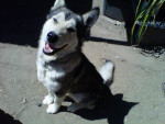 Chien my dog shadowfax -  Mâle (3 ans)