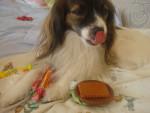 Chien Prunelle mange un sandwich -  Femelle (4 ans)