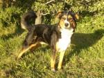 Chien Onyx ( bouvier appenzellois ) -  Mâle (7 ans)