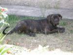 Chien boss cane 6mois -   ()