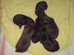 Chien chiots -  Femelle (1 mois)