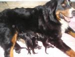 Chien bébé de toupie bouvier bernois -   (0 mois)