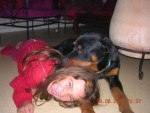 Chien Rottweiler KAISER -   (0 mois)