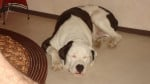 Chien cane corso croise dogue argentin -   ()