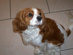 Chien cavalier king charles chanel -   (0 mois)
