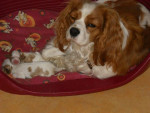 Chien chanel cavalier king charle -   (0 mois)