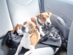 Chien Jack russel  Fitzy -   (0 mois)