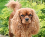 Chien CAVALIER KING CHARLES  -   (0 mois)