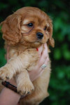 Chien CAVALIERS KINK CHARLES  -   (0 mois)