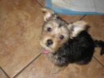 Chien Baloue chiot Yorkshire croisé Chihuahua -   (0 mois)