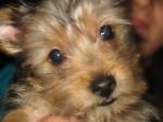 Chien Baloue 2 mois croisé Yorkshire/Chihuahua -   (2 mois)