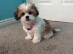 Chien Pixie -  Femelle (2 mois)